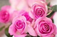 Enfermedad de rosas